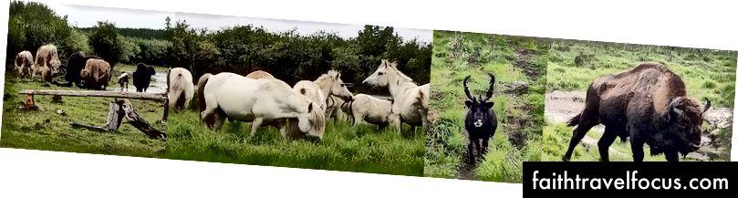Muskox, ngựa Yakutian, tuần lộc và trâu mà chúng ta đã thấy trong công viên.