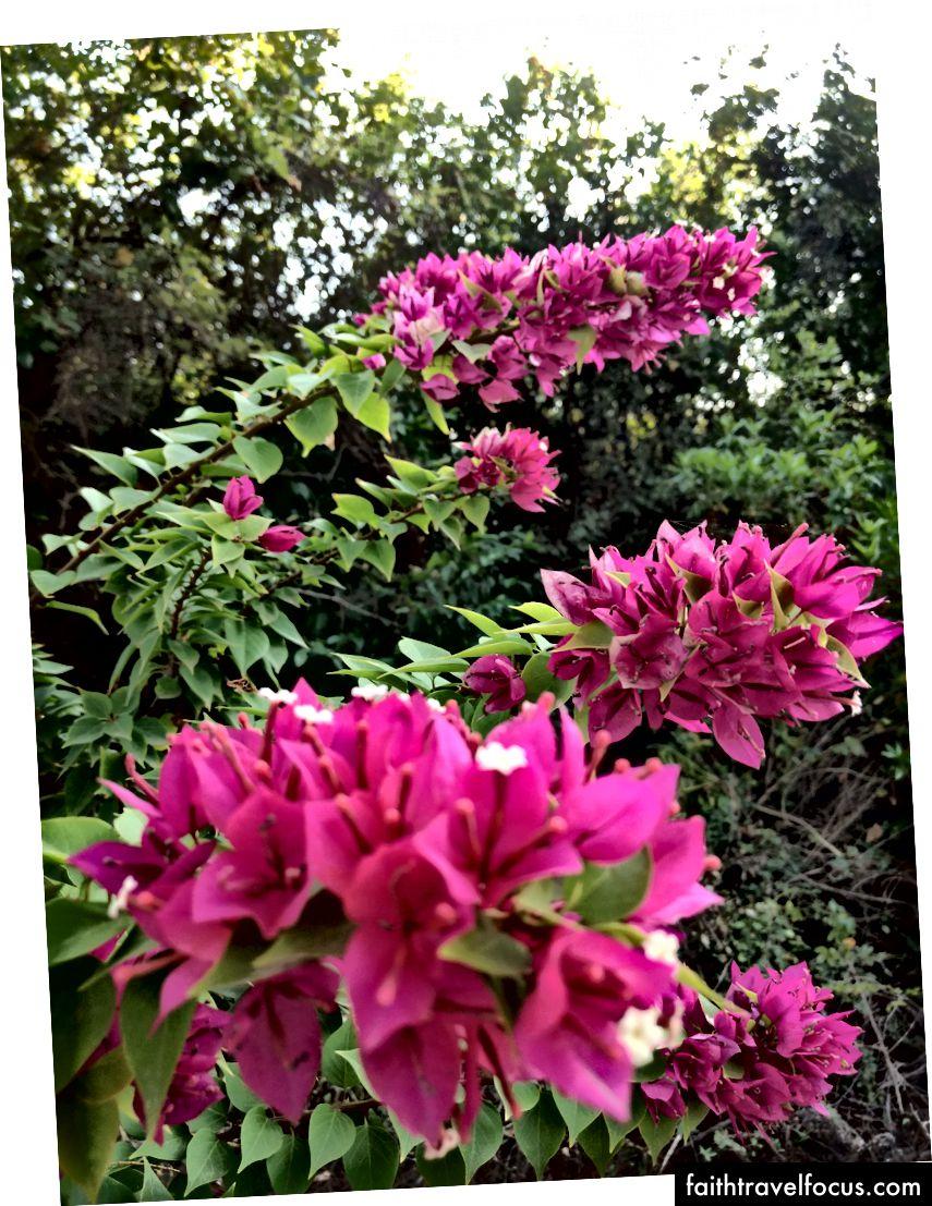 Hoa nhìn thấy vào một buổi chiều đi dạo bên ngoài nhà nghỉ. Tôi đã viết trong tạp chí của mình ngày hôm nay, đó là lý do tại sao cuộc phiêu lưu nhỏ này được đề cập đến.