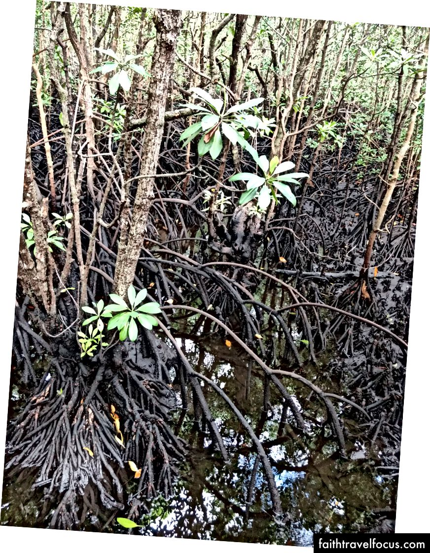 Cây ngập mặn mọc ở vùng nước lợ với rễ bám ra khỏi bùn.