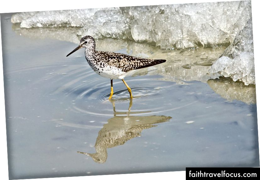 A Lesser Yellowlegs returnerer nord, Flickr Image