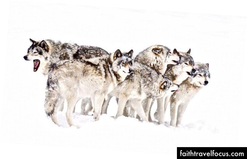 Một con sói và trung bình của năm con sói nó dành nhiều thời gian nhất. Nguồn: động vật.how wareworks.com