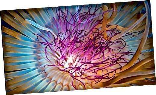 Meduus