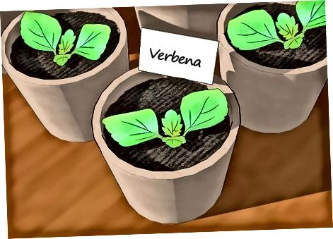 Стартиране на растения Verbena
