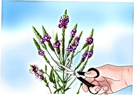 Насърчаване на цветята на Verbena