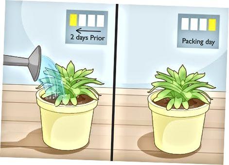 Iesaiņotu augu iesaiņošana