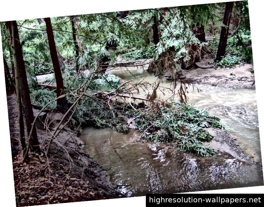 Gefallener Mammutbaum in Adobe Creek. (Wikipedia)