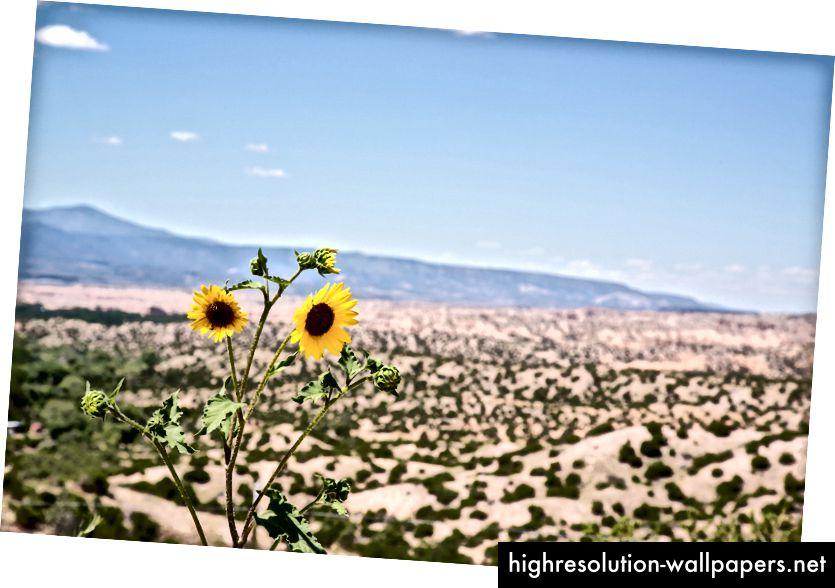 Jeg stødte på disse blomster, der kørte gennem Arizona ørkenen. Det var et så uventet øjeblik, at jeg holdt en pause og kom ud af min bil for at klikke på billedet.