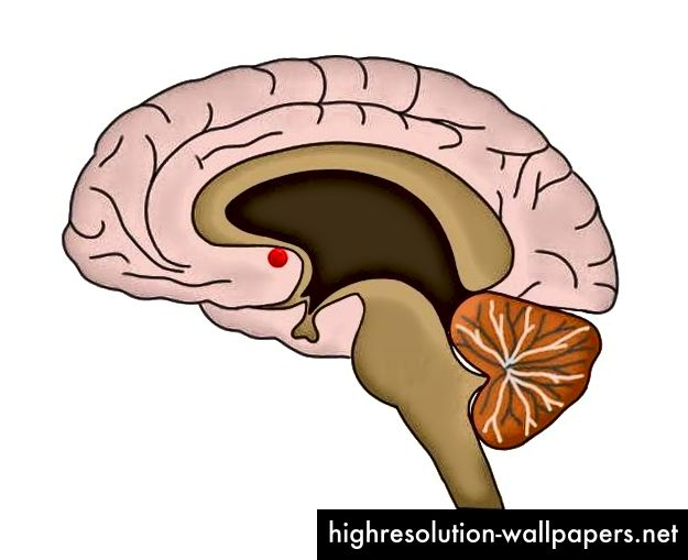 Kernen accumbens, fremhævet af den røde prik, er den del af hjernen, der er forbundet med glæde (kilde: Neuroscientifically Challenged)