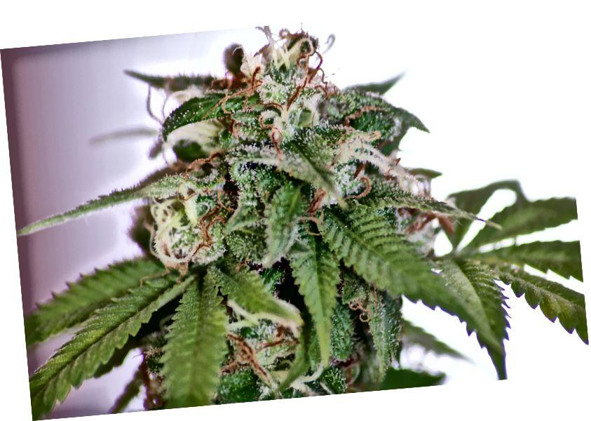 El cannabis no curará, tratará ni evitará el coronavirus. Crédito de la foto Sandra Hinchliffe