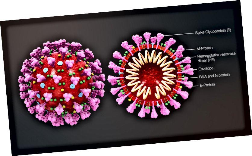 Tvärsnittsmodell av ett coronavirus (Källa: Wikipedia)