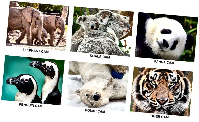 Kuva: Livekamerat - San Diegon eläintarha
