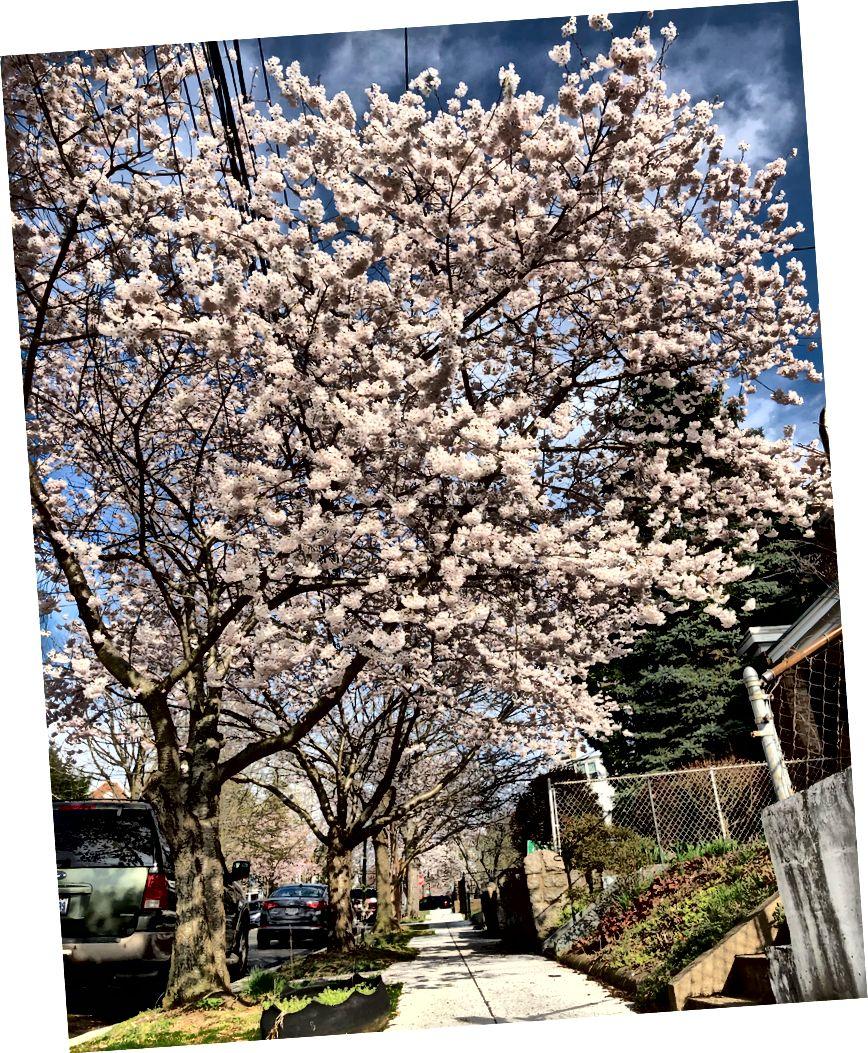 Δεξιόστροφα από πάνω αριστερά: Κάτω Senate Park? τα φακελάκια του φλοιού του κερασιού δείχνουν πού αναπνέει το δέντρο. 400 μπλοκ της οδού Allison Street NW στο Petworth (Sam Nelson). Κορεατικά κερασιά στην ΑΕ (ευγενική προσφορά του Αμερικανικού Πανεπιστημίου)