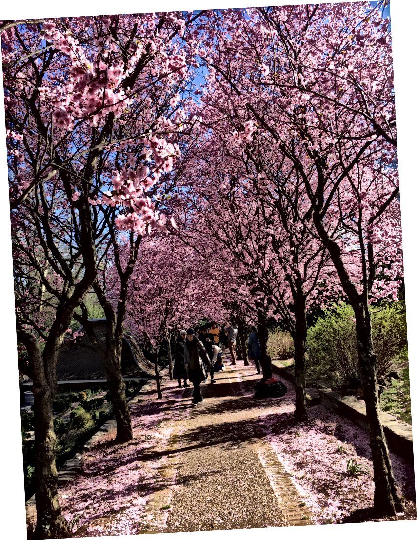از سال 2019: Cherry Hill و Prunus x. blireana at Dumbarton Oaks (سام نلسون)