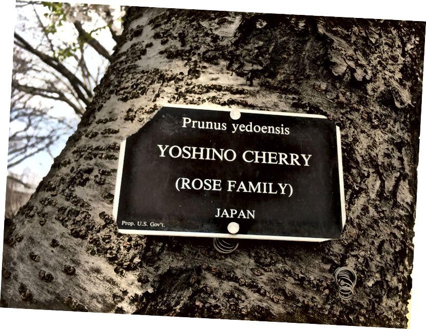 Yuqoridan chapga soat yo'nalishi bo'yicha: Kongress kutubxonasidagi olcha daraxti; Tidal havzasidagi eski gilos daraxti (2019); Prunus yedoensis; Metropolitan Bike Trail-dan olxo'ri daraxti; Ginkgo