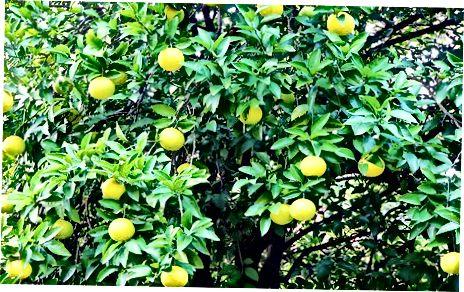 Tinkamų vaisių pasirinkimas