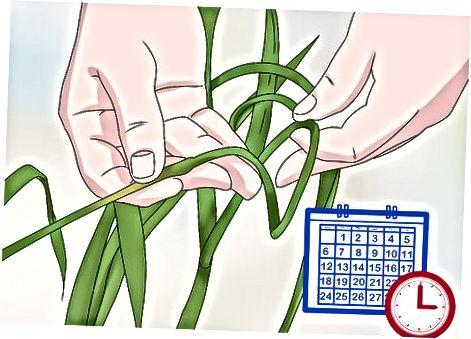 Scapes aus Knoblauchpflanzen ernten
