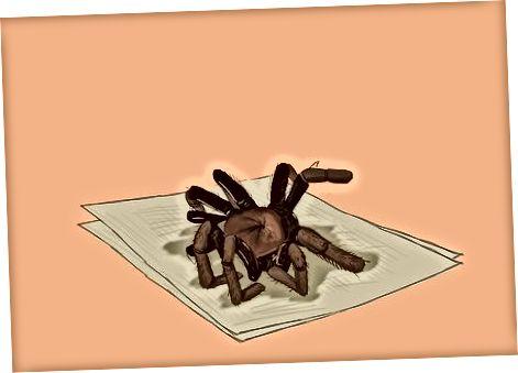 Qovurilgan, sarimsoqli xushbo'y tarantulalar