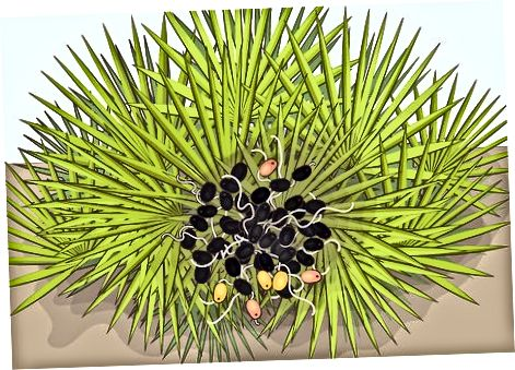 Ngrënia e Berave Raw Palmetto