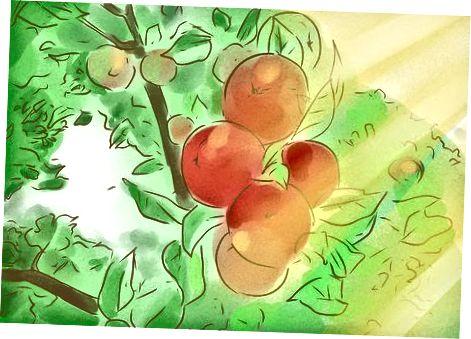 Aprendre a identificar les pomes madures