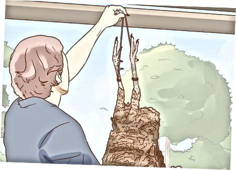Вищипування та очищення дикої індички