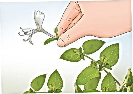 Duke shijuar nektarin