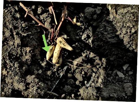 Korrja e farave të kikirikut