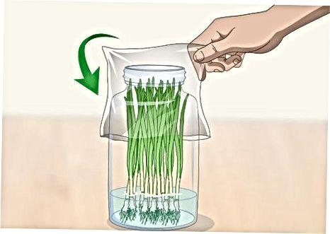Поставивши зелену цибулю у воду в холодильнику