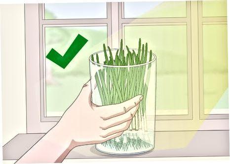 Помістіть зелений лук на підвіконні