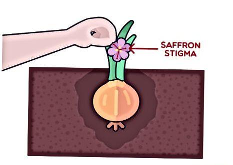 ການຂຸດຄົ້ນ Saffron