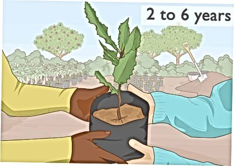 Transplantimi i një Graft Macadamia