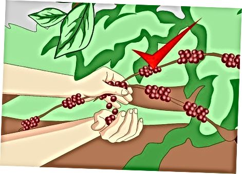 Korrja e fasuleve të kafesë