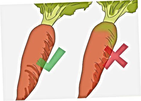 Берба здраве шаргарепе