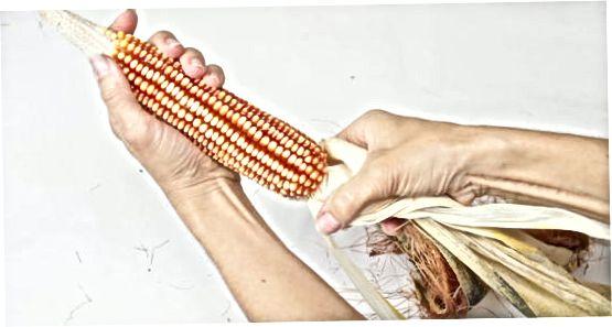 Trocknen von indischem oder Kaliko-Mais
