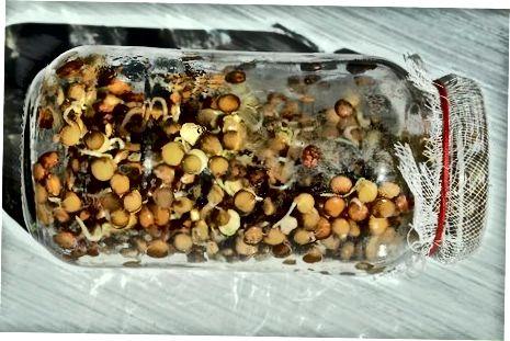 Клијање житарица, семенки и пасуља
