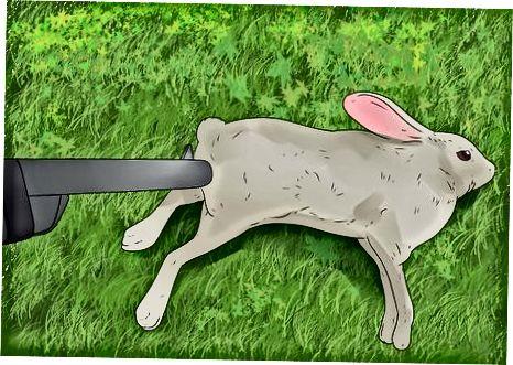 Gjuetia e lepurit