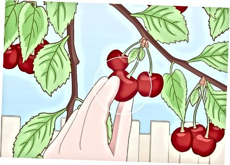 Prinokusių vyšnių ištraukimas iš medžio
