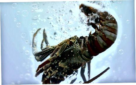 Qaynatilgan butun Lobster