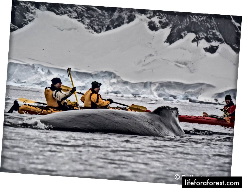 Chúng tôi chèo thuyền kayak với cá voi lưng gù ở Nam Cực. Ảnh của Sophie Ballagh