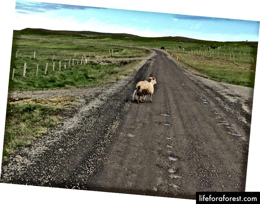 F-road hinderløp inkluderer vanligvis sauer
