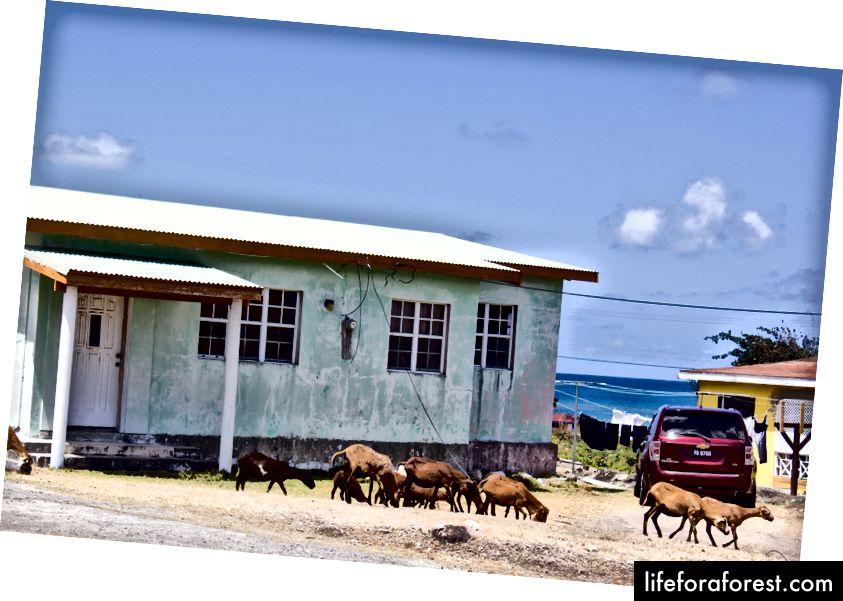 Sauevenner i Nevis