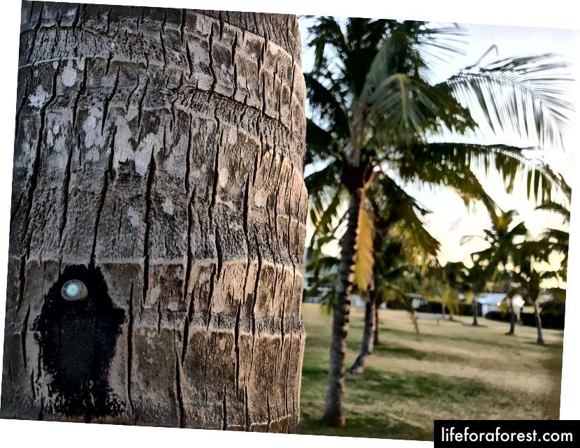 Jern implisert i kokosnøttreet