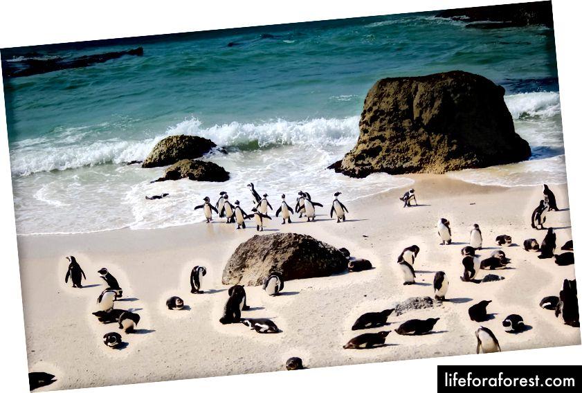 Siz pingvinlarni Janubiy Keyptaunda uchratishingiz mumkin.