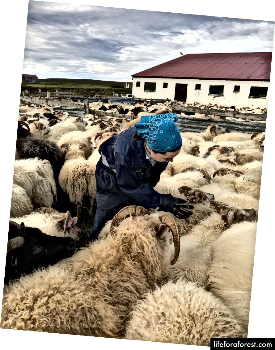 Sắp xếp cừu trong Réttir - Tháng 9 năm 2017 - Ảnh của Derek