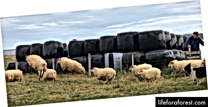 Qo'ylarni qalamdan boqish. Islandiya - Sentyabr 2017. Ali surati