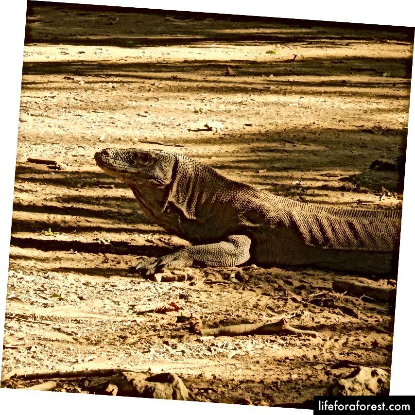 Katta kertenkaylarning oxirgisi, Komodo ajdaho