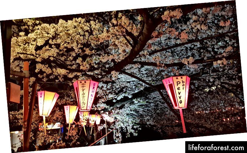 Sông Meguro vào ban đêm trong thời kỳ sakura