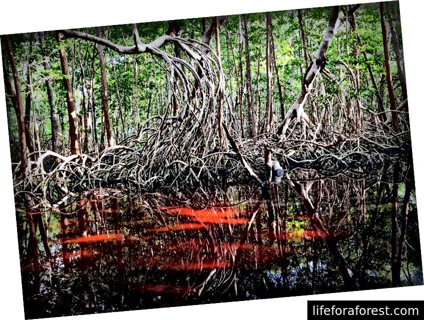 Dodieties braucienā ar laivu pa mangrovīm, lai iegūtu neaizmirstamu savvaļas dzīvnieku smērēšanās pieredzi.