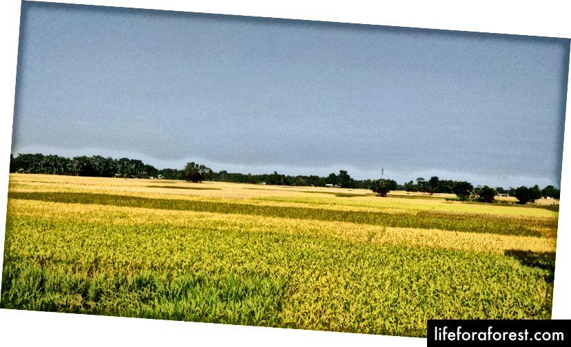 Cánh đồng lúa ở Assam