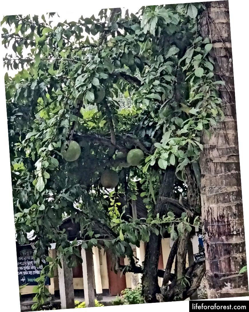 Đây là một loại trái cây mà người dân địa phương gọi là Brahmopal và nó lớn như quả bí ngô. Tôi không biết nó là gì.