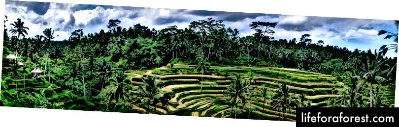 De berømte ris-terrassene i Tegalalang med fantastisk utsikt.